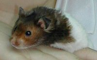 hamster picture