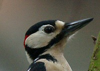 Greater Spotted Woodpecker
